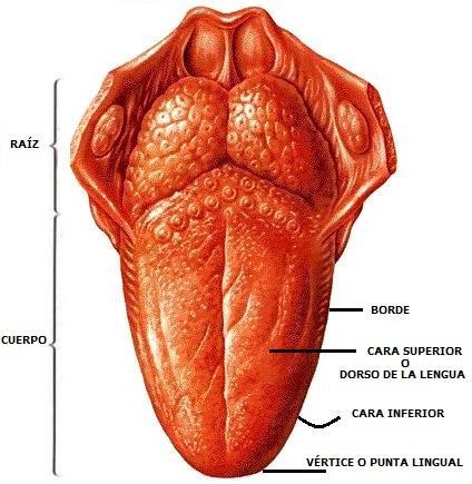 dorso-lengua