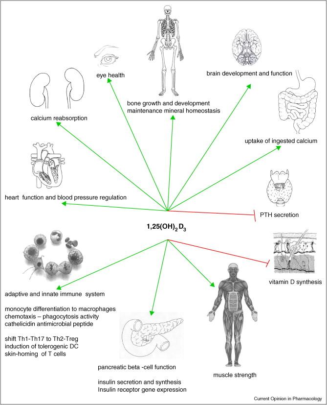 receptores vitamina D