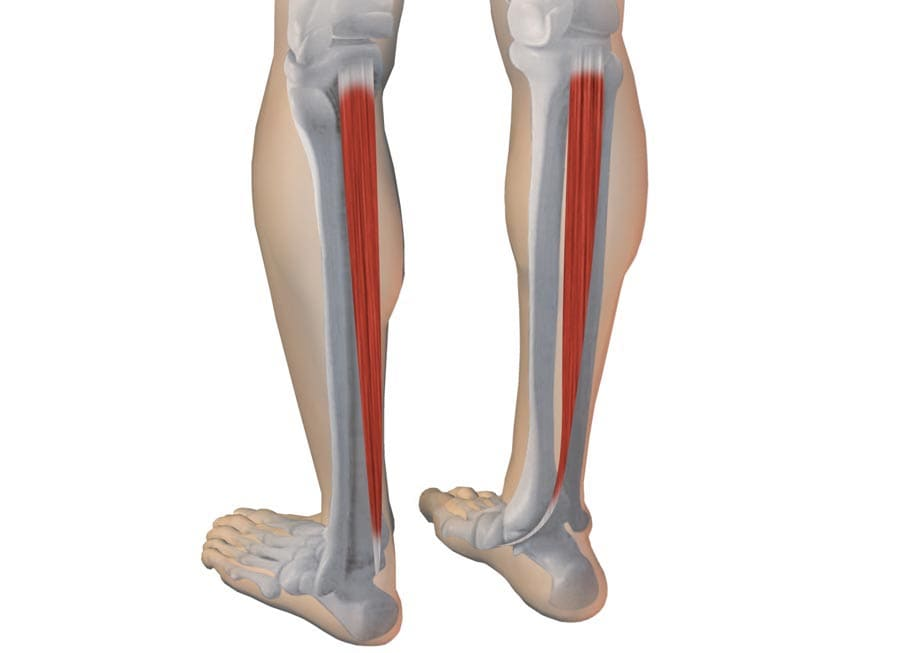 tibial-posterior